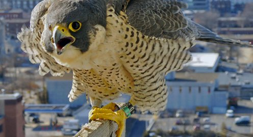 Peregrine Monitoring Project