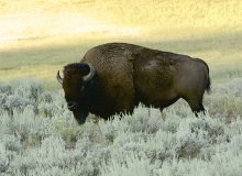 Bison at sunrise in the Lamar Valley